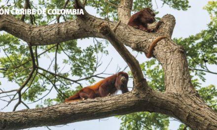 Alerta por virus en monos aulladores en Santa Marta