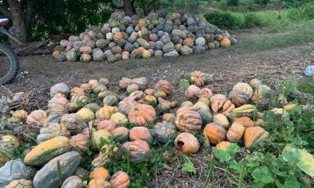 Campesinos de Pinillos piden ayuda para salvar más de 10 toneladas de Ahuyama