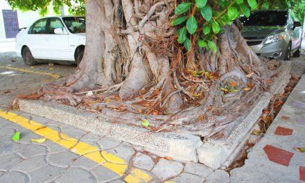 Vecinos del Pie de la Popa exigen al EPA poda de árboles centenarios ubicados en la Plaza de 'La Ermita'