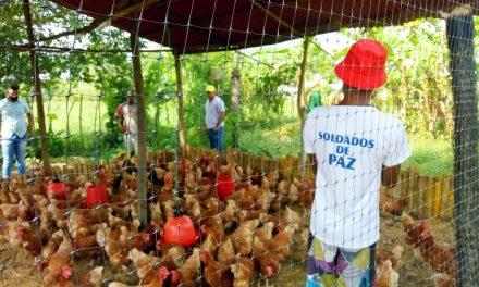 Alcaldía invierte en gallinas ponedoras para favorecer económicamente 300 familias con jóvenes en riesgo en María La Baja