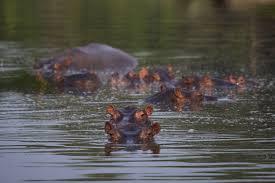 Alrededor de cien Hipopótamos de Pablo Escobar serían sacrificados al representar una amenaza al medio ambiente