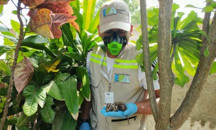 Alerta por caracol africano en Cartagena