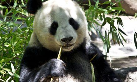 Oso panda deja de estar en extinción