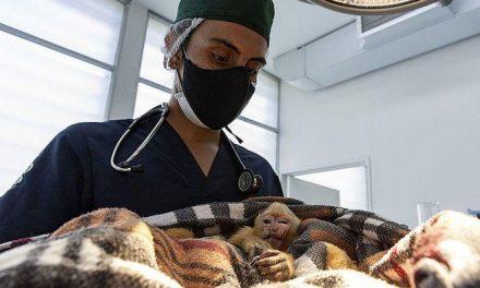 Mono es operado luego de ser víctima del tráfico ilegal de su especie